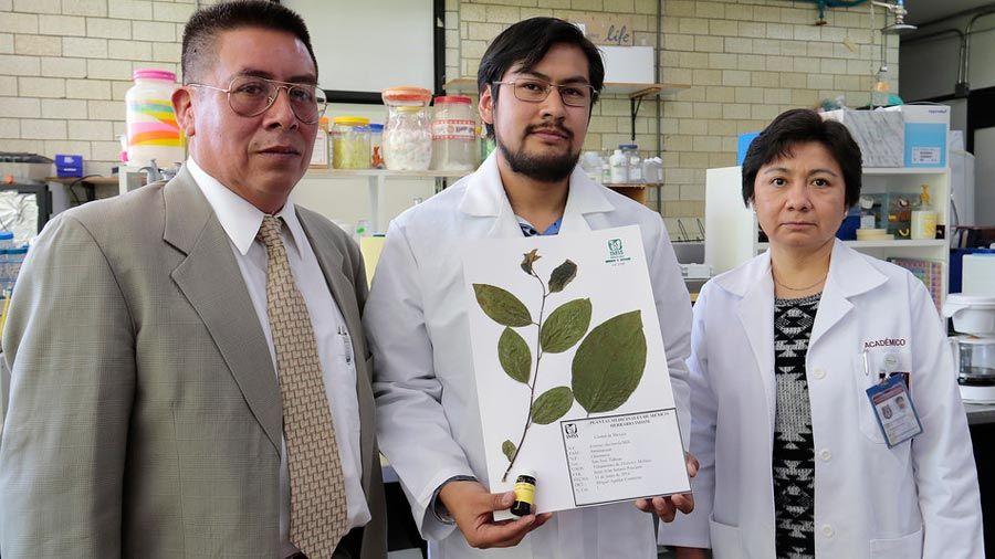 Hallan científicos mexicanos efectos antidiabéticos de las hojas de chirimoya