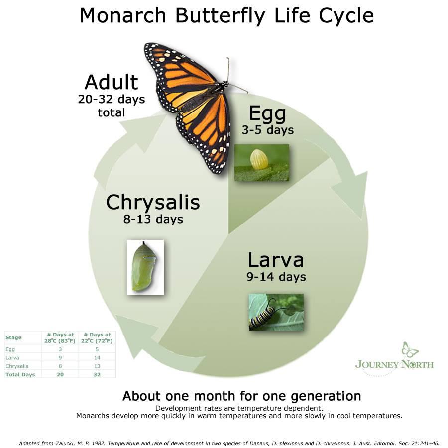 El ciclo de vida La Mariposa Monarca